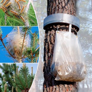 Eco-trap for processionary moth caterpillars - oak or pine