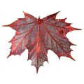 Sugar Maple - Copper Iridescent